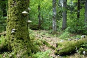 Urwald Rothwald, Wildnisgebiet Dürrenstein, Foto: Theo Kust
